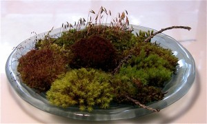 Our Moss Garden, flourishing in the wet weather on a small plate.  Six varieties.  Endless amazement.
